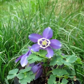 Mini Akelei, Frühjahr, Blaue Blüten