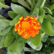 Ringelblume, Creme, Heilpflanze