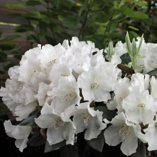 Rhododendron Schneesturm, Azalee, Moorbeetpflanze, Frühjahrsblüte