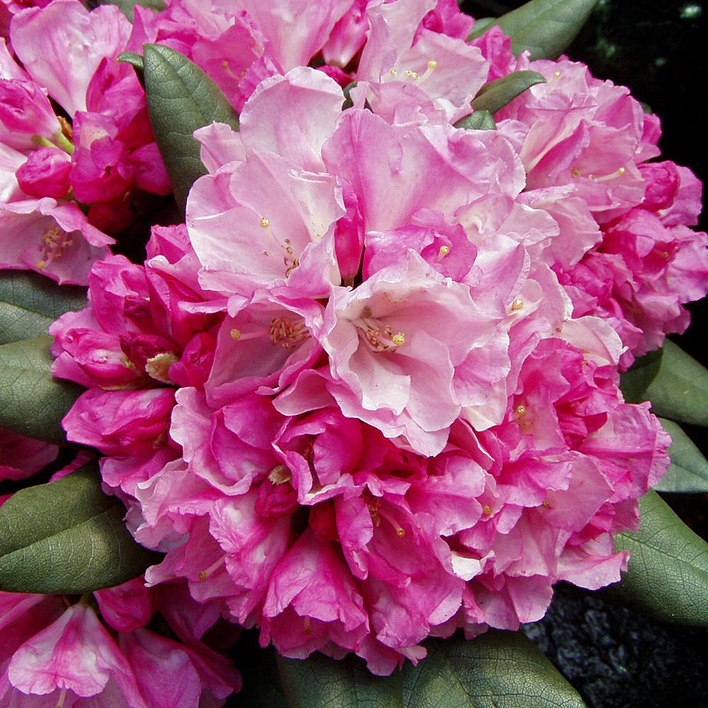 rhododendron yakushimanum 39 polaris 39 bl tezeit mitte mai. Black Bedroom Furniture Sets. Home Design Ideas