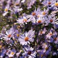 Glatte Aster Calliope, Herbstblüher
