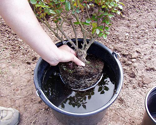 Rosen-pflanzen-wasser
