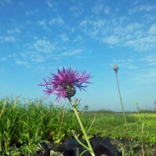Skabiosen Flockenblume, Blütenstaude, Wildblume