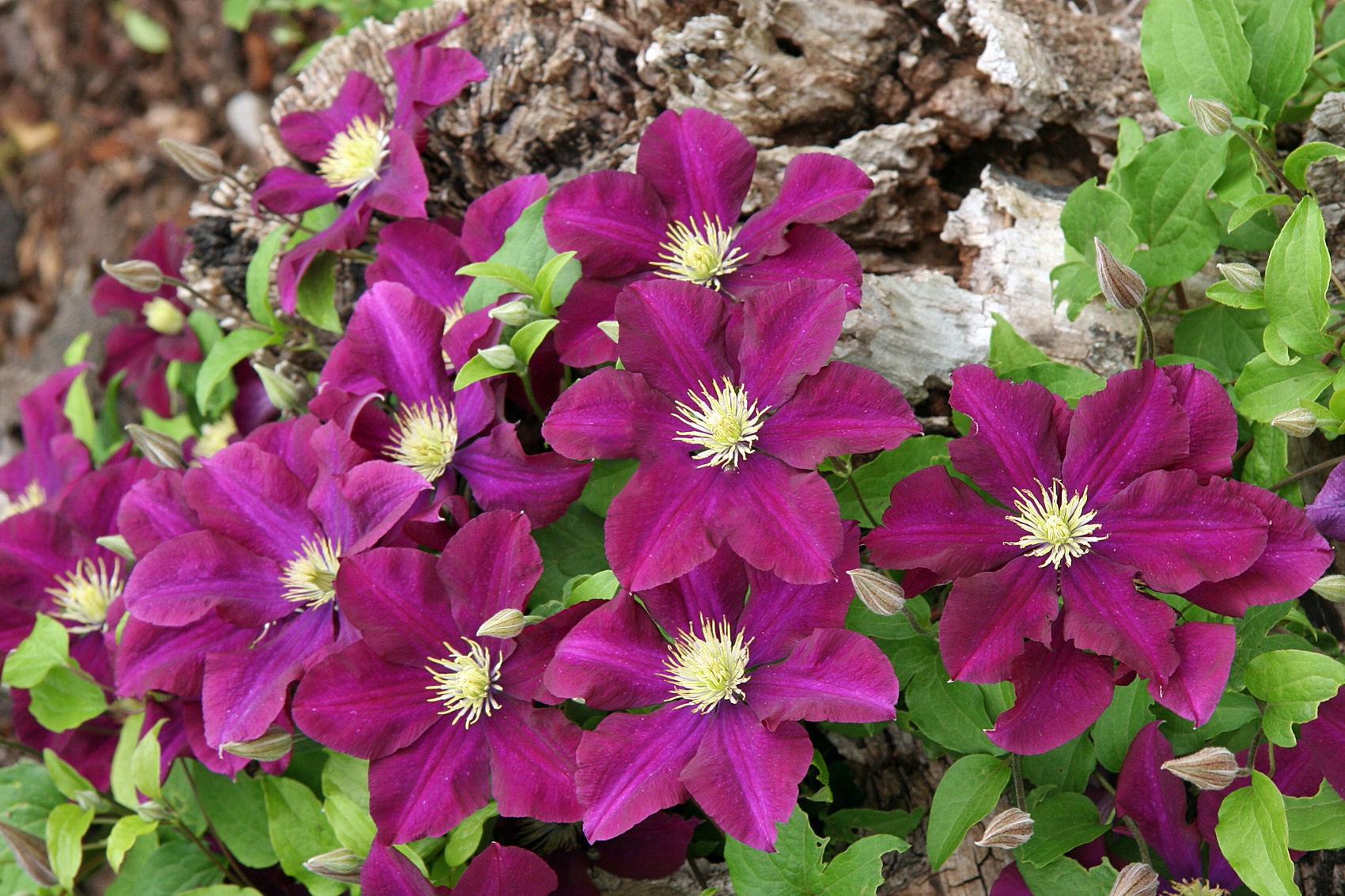clematis gro blumige hybriden waldreben native plants. Black Bedroom Furniture Sets. Home Design Ideas