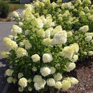 Hortensie Bobo, Rispenhortensie, Blütenstrauch