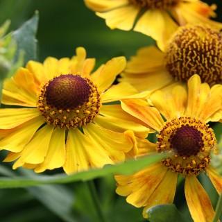 Sonnenbraut Zimbelstern, Helenium, Bienenweide