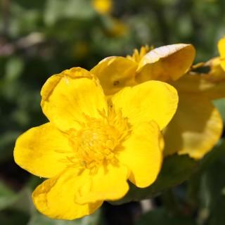 Sumpfdotterblume, Caltha palustris, Wasserrandpflanze, Ufer