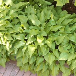 Funkie Lemon Lime, Hosta, Unterbepflanzung, Blattschmuck
