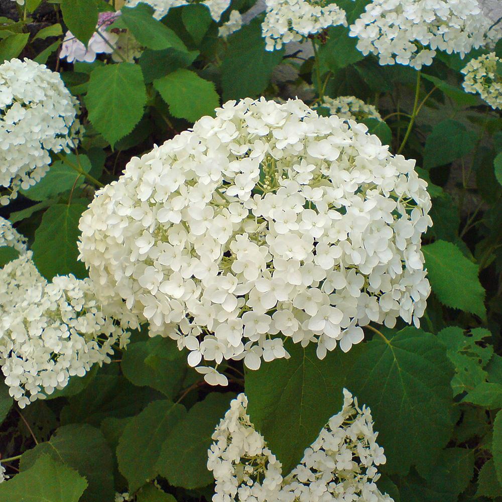 die ball hortensie annabelle ist eine sehr beliebte hortensien sorte native plants. Black Bedroom Furniture Sets. Home Design Ideas