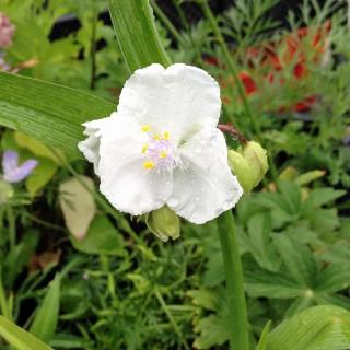 Dreimasterblume Innocence, Blütenstaude