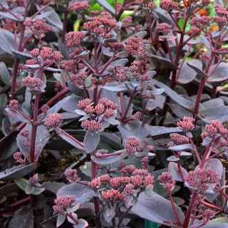 Fetthenne Black Beauty, Sedum, herbstblüher, Bienenweide