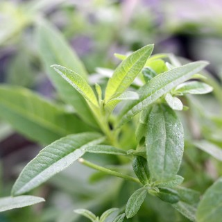 Zitronenverbene, Teepflanze