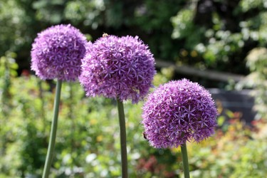 Zierlauch (Allium) für Garten und Kübel
