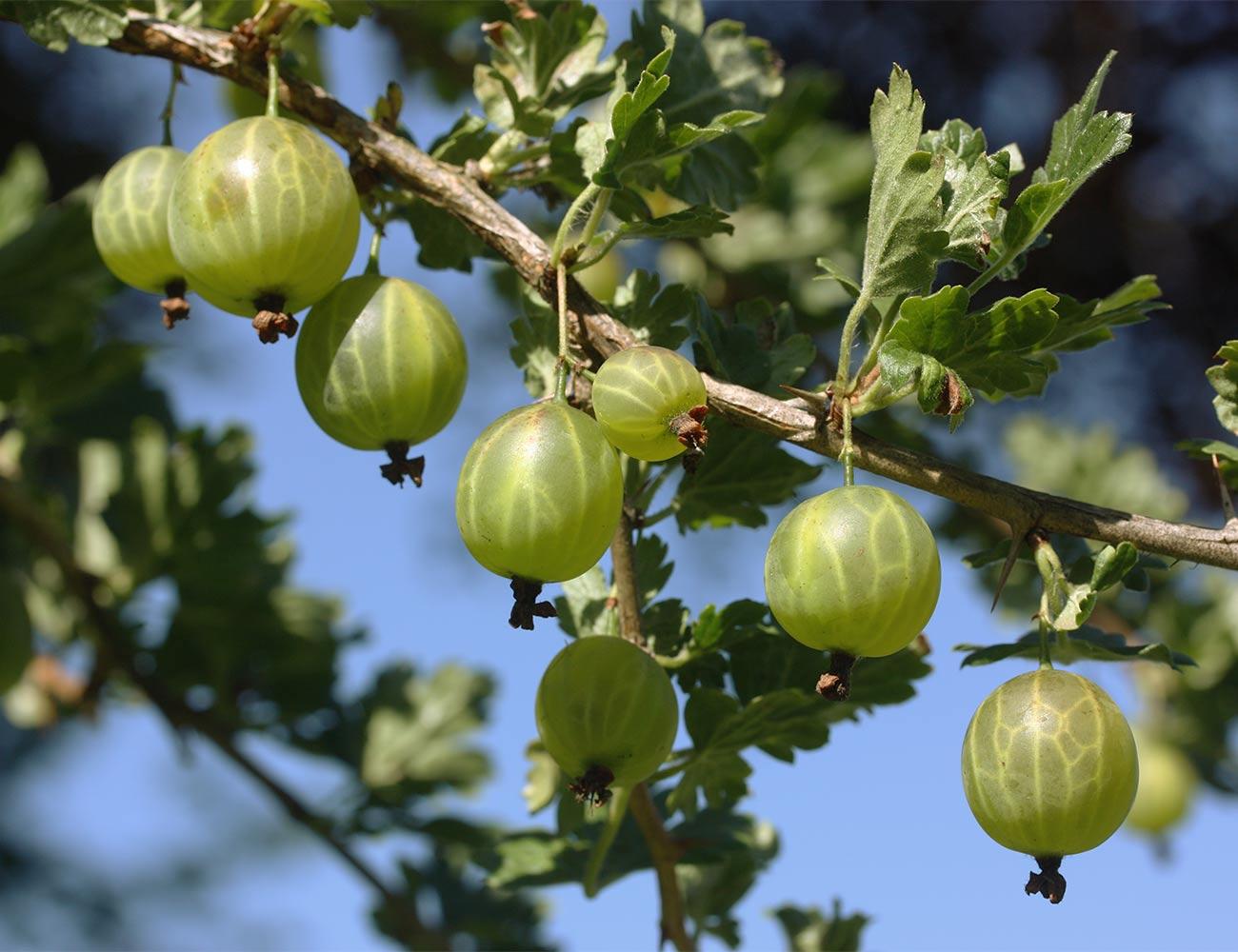 Stachelbeere-gruen