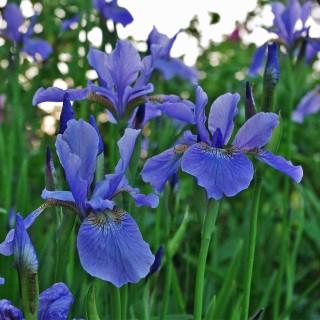 Sibirische Schwertlilie 'Perrys Blue'