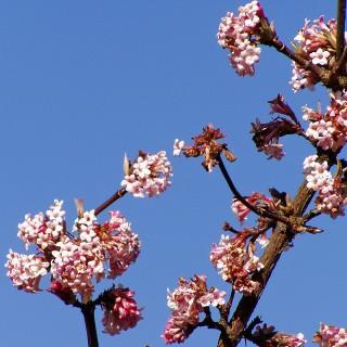 Winterschneeball, Viburnum, Blütengehölz