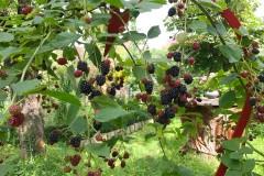Brombeeren pflanzen und pflegen