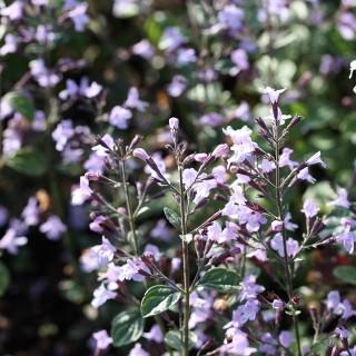 Steinquendel Lilac Riese, Blütenpflanze