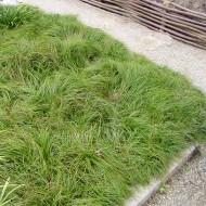 Schatten Segge The Beatles, Segge, Carex caryophyllea, Ziergras