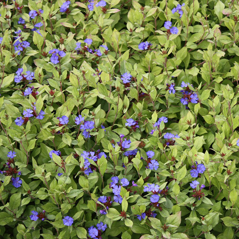 bleiwurz blau ceratostigma plumbaginoides bodendecker f r sonnige standorte native plants. Black Bedroom Furniture Sets. Home Design Ideas
