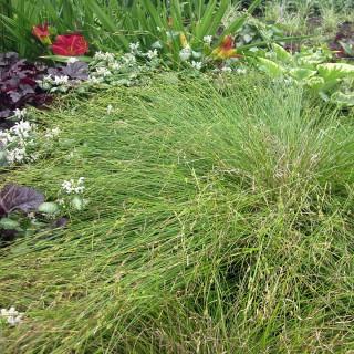 Winkelsegge, Carex remota, Ziergras