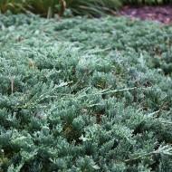 Teppichwacholder Wiltonii, bodendecker, Nadelgehölz, immergrün