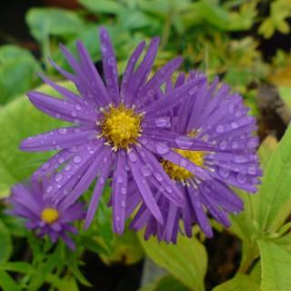 Glattblattaster Dauerblau, Aster, Herbstblüte