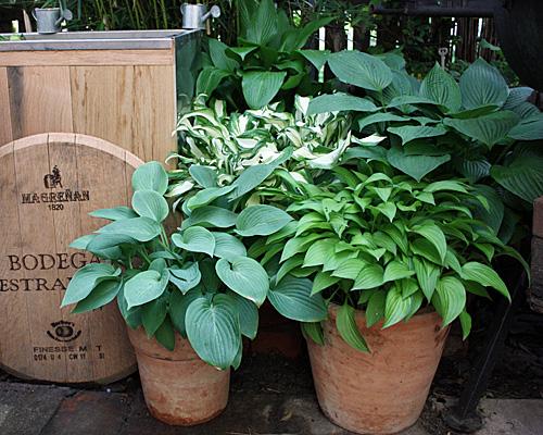 Funkien als Topf- und Kübelpflanze