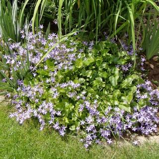 Hängeglockenblume Blauranke, Glockenblume, Bodendecker, immergrün