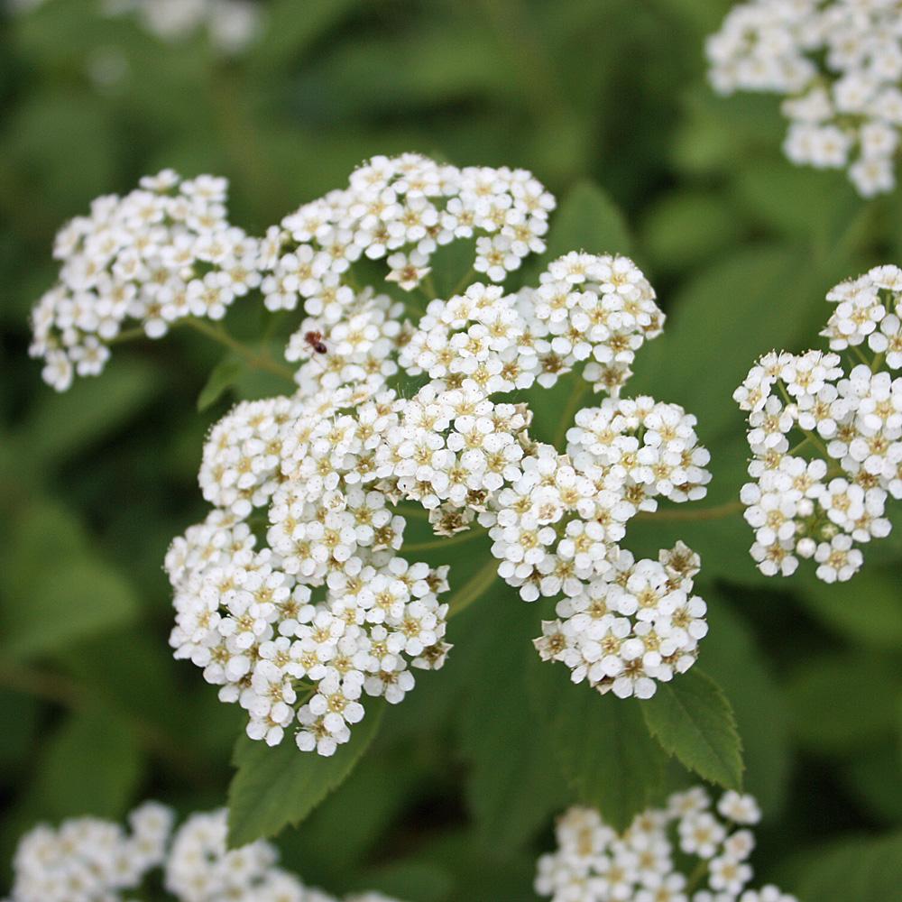 wei bl hende zwergspiere 39 albiflora 39 spiraea 39 japonica. Black Bedroom Furniture Sets. Home Design Ideas