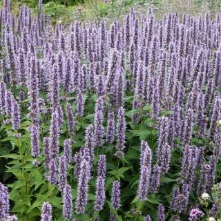 Duftnessel Blue Fortune, Duftpflanze