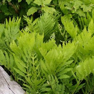Perlfarn, Onoclea, Farn, Schattenpflanze