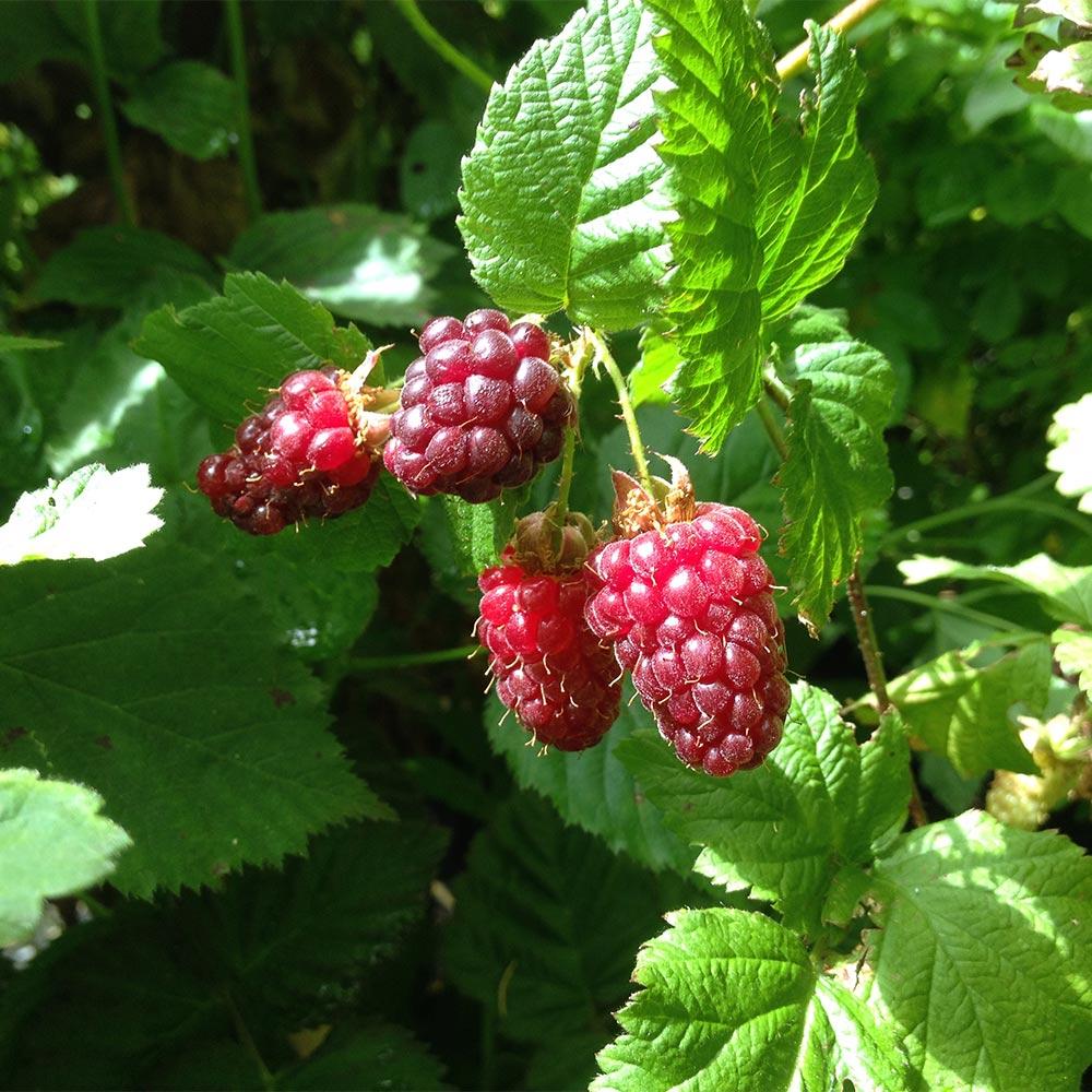 Berühmt Himbeere-Brombeere Kreuzung 'Buckingham Tayberry' - Rubus #SL_79