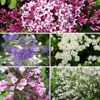 Vorschau: 5 Kleinbleibende Blütensträucher