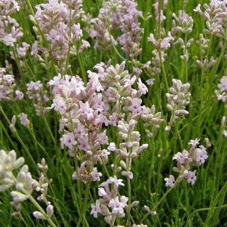 Lavendel Loddon Pink, Lavandula, Blütenstaude, Duftpflanze