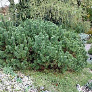 Zwergkiefer Mops, Kiefer, Pinus, immergrün