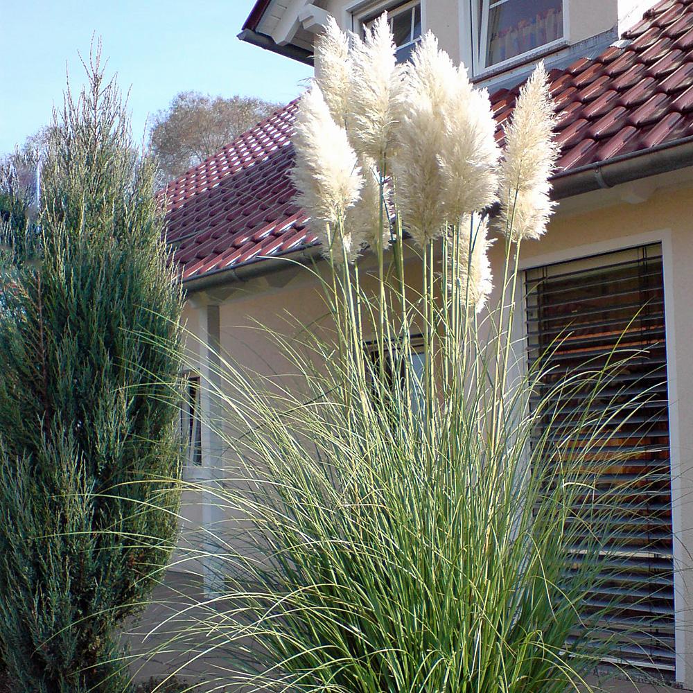 beet mit pampasgras, weißes pampasgras sunningdale silver- cortaderia selloana, Design ideen