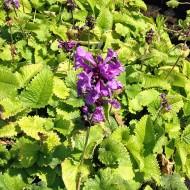 Großblütiger Ziest, Superba, Stachys, Blütenpflanze