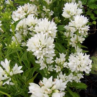 Knäulglockenblume Alba, Glockenblume, Blütenstaude