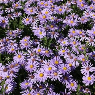 Bergaster, Sommeraster Blütendecke, Herbst