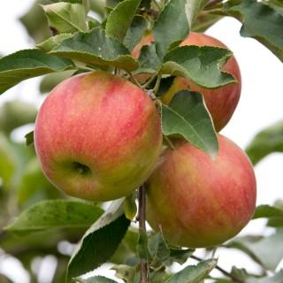 Herbstapfel 'Alkmene'
