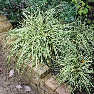 Goldsegge, Carex Evergold, Ziergras