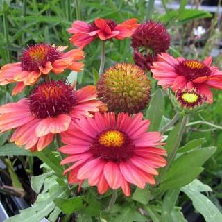 Kokardenblume Burgunder, Gallardia, Beetstaude