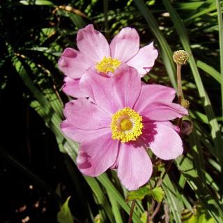 Herbstanemone Königin Charlotte, Anemone, Herbstblüte