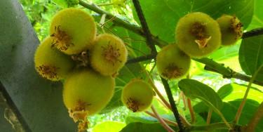 Kiwi-Pflanzen für Garten und Kübel