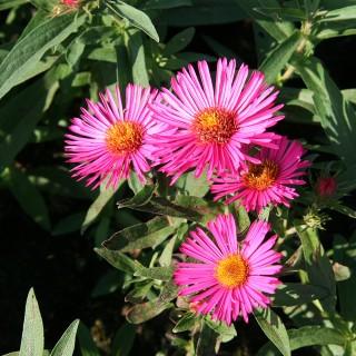 Raublattaster Alma Pötschke, Aster, Herbstblüte