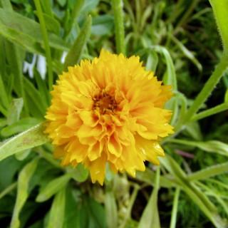 Mädchenauge, Coreopsis, Blütenstaude