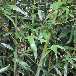 Grüner Bambus - Phyllostachis bissetii
