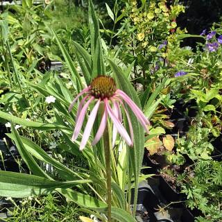 Sonnenhut, Echinacea, Heilpflanze