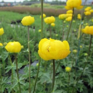 Europäische Trollblume, Blütenstaude